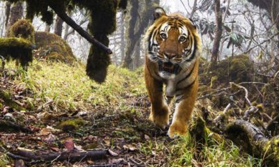 A wild tiger is believed to have killed a man